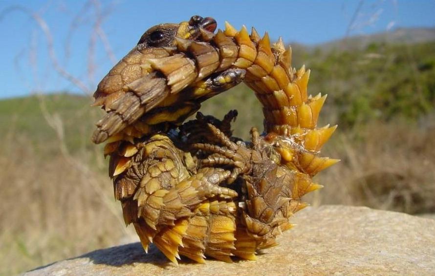 Cuernos De Diablo Png: Animales Curiosos Por El Mundo: Diablo Espinoso (Moloch