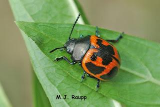 adult milkweed leaf beetle
