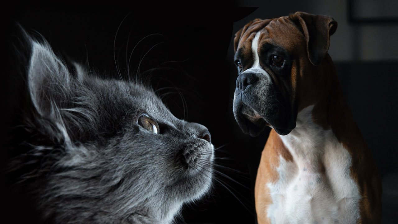 Boxers friendly with Cats