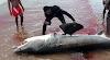 Shark Finning or Shark Fin Trading