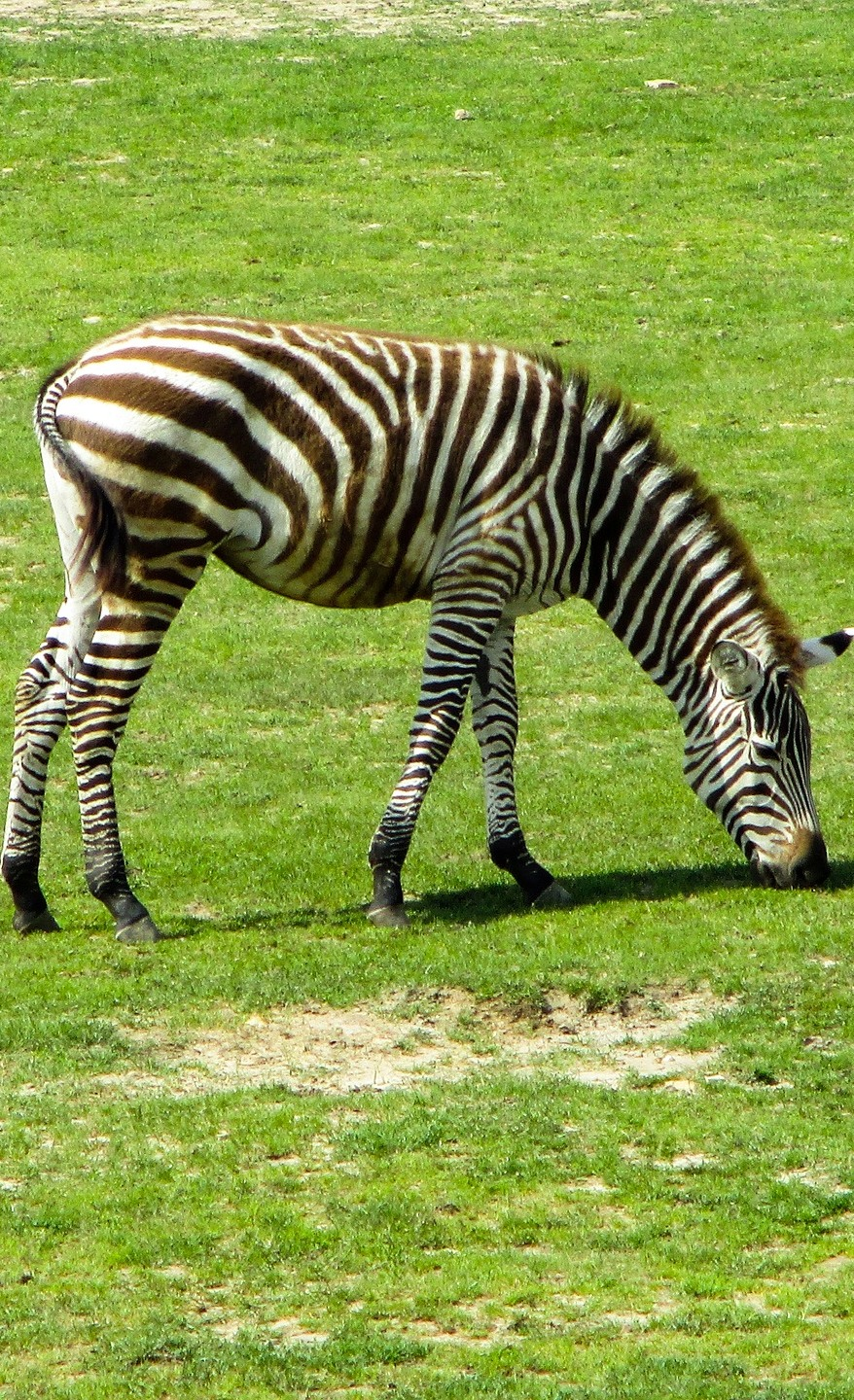 A zebra grazing on the open plain.