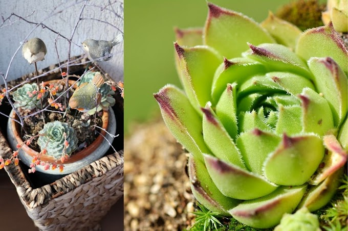 Echeveria Agavoides care and Propagate | OrchidShade