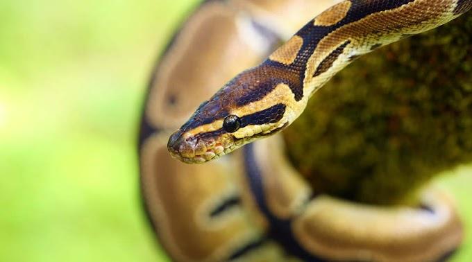 Királypiton a tizediken: óriáskígyót találtak egy szolnoki lakásban