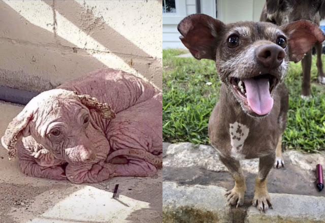 Пёс превратился в страшного Добби из-за жизни на улице, но новая хозяйка вернула ему прежнюю красоту