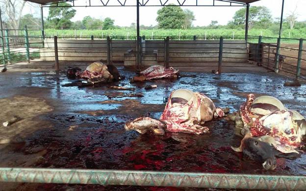 matanza-de-ganado-arruina-pequeno-productor-del-Km-25-via-perija