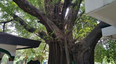 pohon kiara di makam pangeran jayakarta