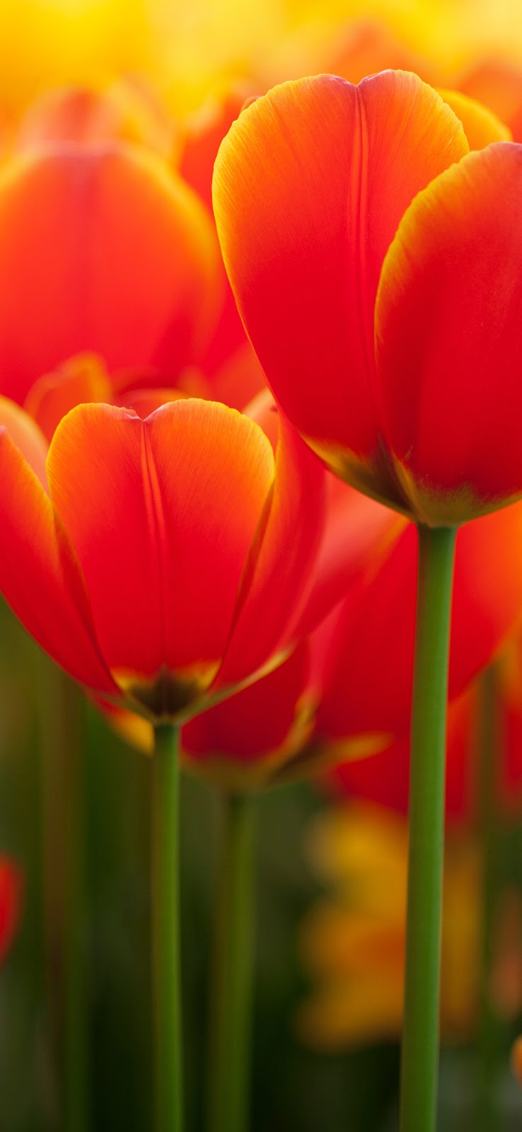 orange tulips in bloom wallpaper