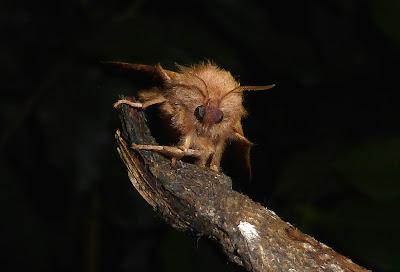 Malacosoma disstria female