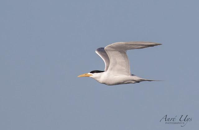 Swift Tern in Flight Woodbridge Island