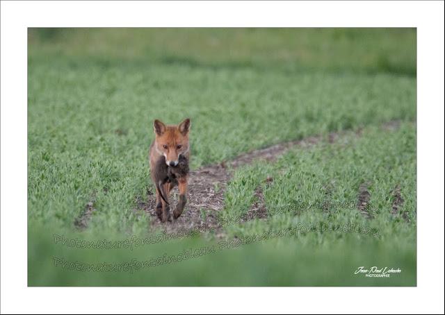 retour-de-chasse-un-renard-avec-un-jeune-ragondin-dans-la-gueule