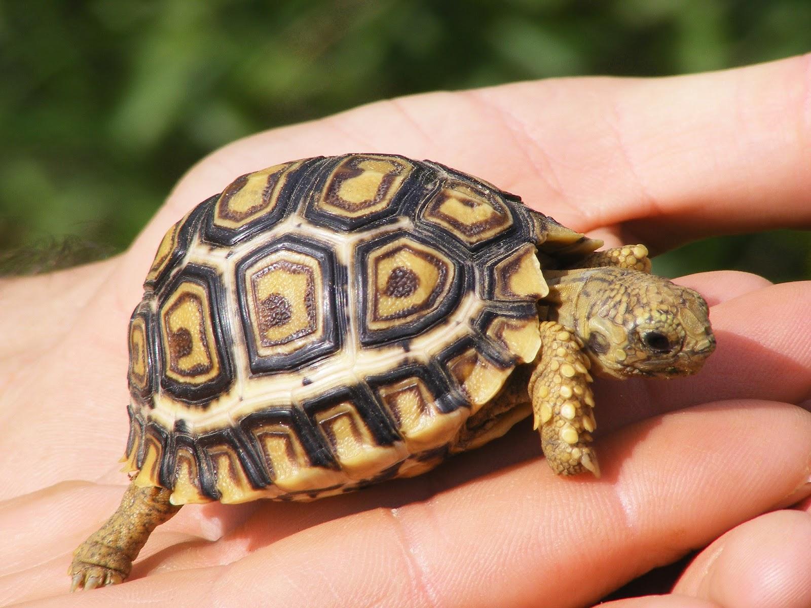 Картинки с черепахами, днем логопеда