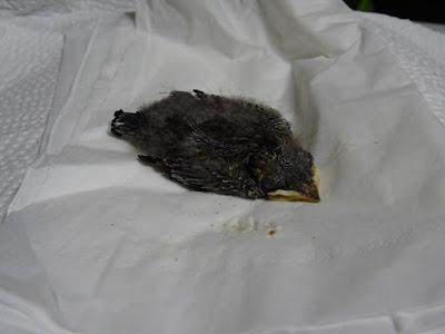 落ちた雛。巣の中の雛と比べると明らかに発育不良