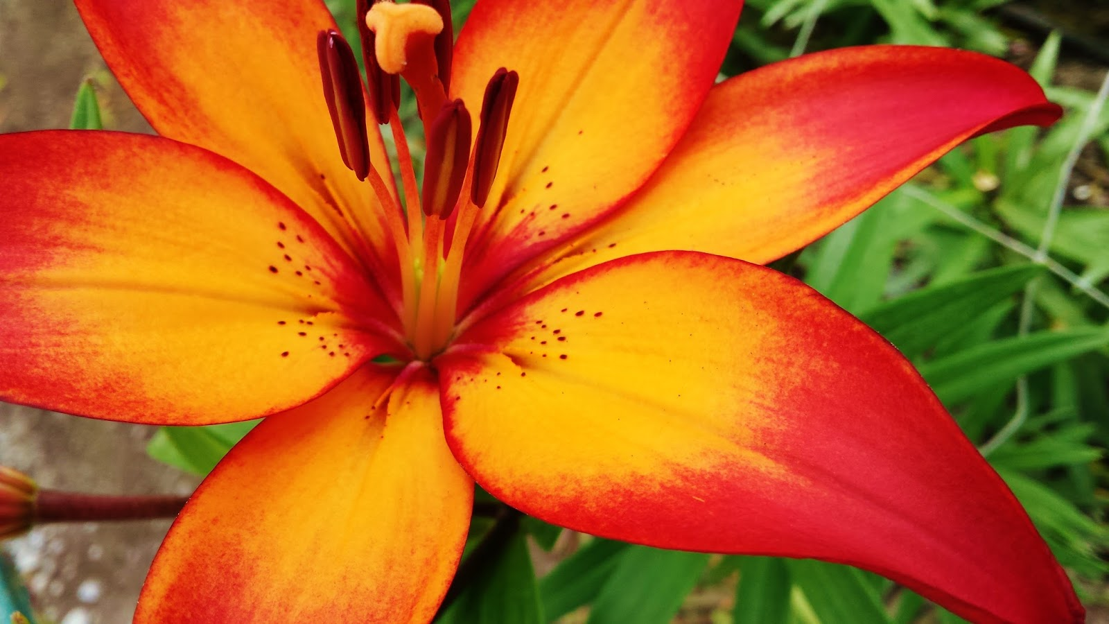 election recovery and royal sunset lilies  flower talk, Natural flower