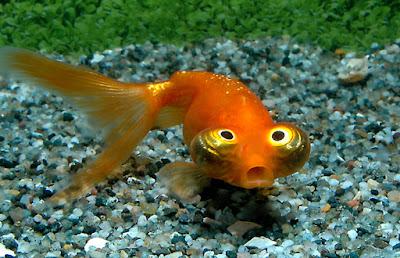 Ikan Mas Koki Calestial Eye Atau Choten