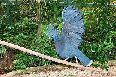 É distribuído na várzea e pântano do norte da Nova Guiné e ilhas vizinhas. Sua dieta consiste principalmente de frutas, figos secos, sementes e invertebrados. A fêmea põe um único ovo branco.