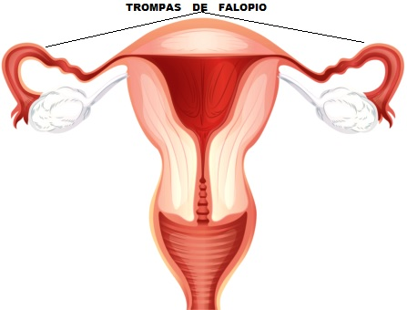 Dibujo de las trompas de falopia de la mujer