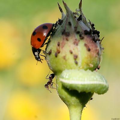 Face à face entre une fourmi et une coccinelle sur un bouton de rose