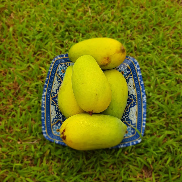 fruits, mango fruit, mango fruit malaysia, mango fruta, mango ins, mango online shop, mango tree information, mango uk, mangoes benefits, mangoes calories, mangoes or mangos, types of mangoes,