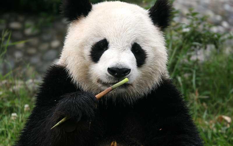 ANATOMÍA Y FISIOLOGÍA VETERINARIA: oso panda