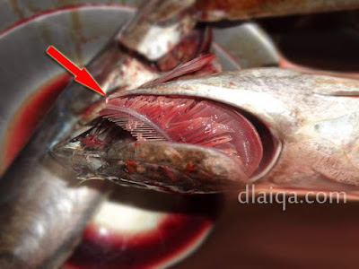 iris atau sobek bagian bawah insang
