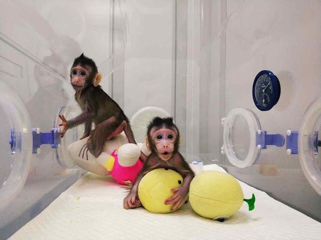 Macacos de laboratório Zhong Zhong e Hua Hua pensando no homem planificado exatamente igual pela ditadura marxista