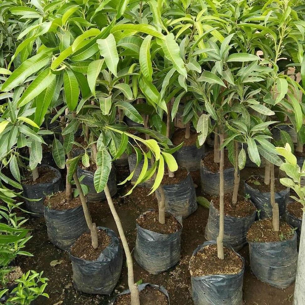 Bibit Buah Kelengkeng Aroma Durian Sulawesi Tenggara