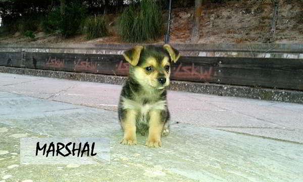 cachorro talla pequeña miniatura
