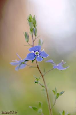 véronique petit chêne bleue petite fleur naturelle sauvage