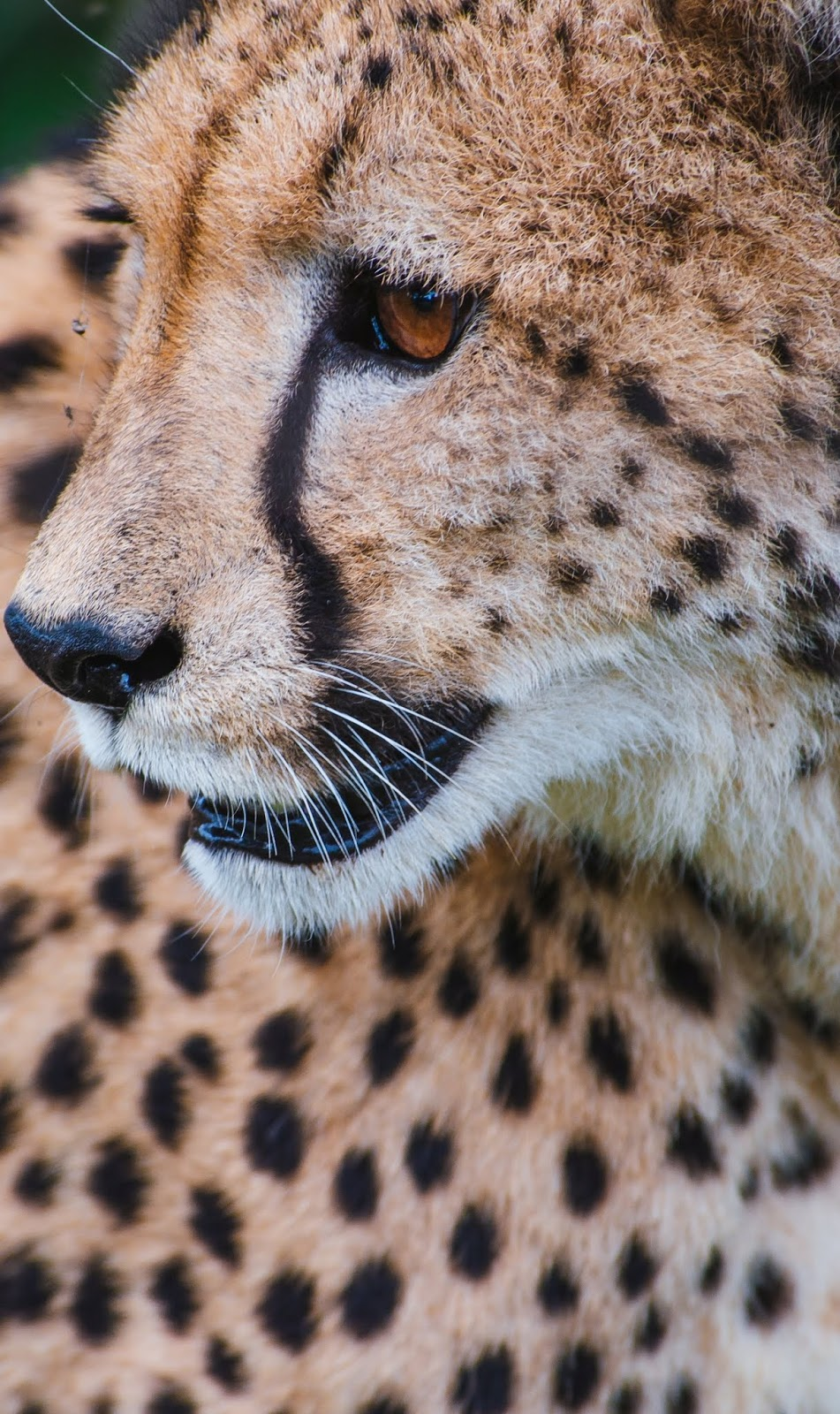 Cheetah up close.