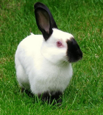 Getting to know the Himalayan rabbit