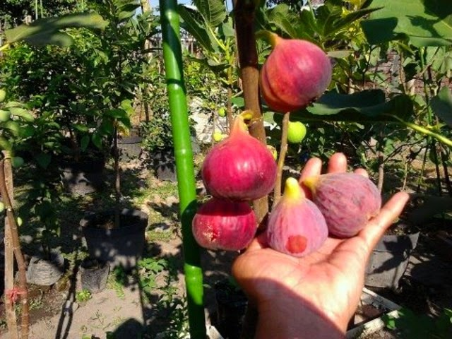 V 479 ONION Tanami Red Seeds