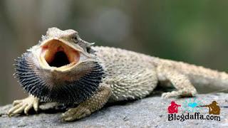 Bearded Dragon reptil unik untuk dipelihara