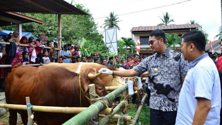 Jumlah Populasi Sapi Potong di Sinjai Capai 114.141 ekor