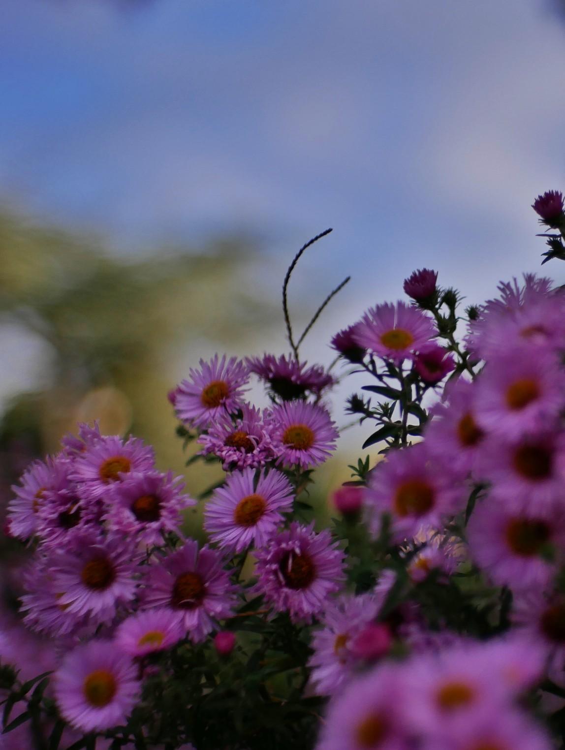 Herbstblumen, astern herbst