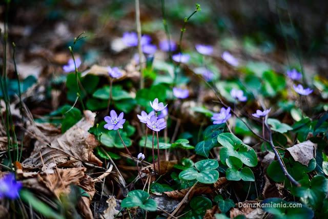 Przylaszczki - wiosna w Toskanii, Dom z Kamienia blog