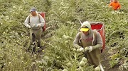 Check Out this Fruit Packers Job Available in Canada $15 an hour