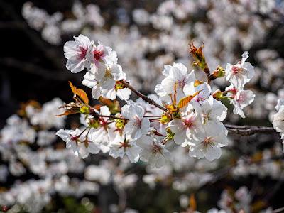 Someiyoshino-zakura (Prunus yedoensis) flowers: Eisho-ji
