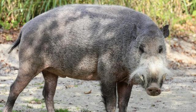 Babi Liar Berjanggut