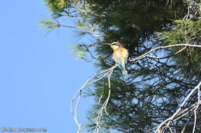 Abellerol sobre els pins