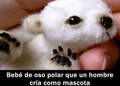 oso-polar-mascota