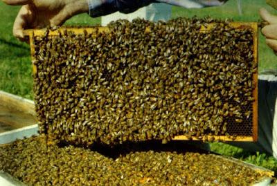 cara budidaya lebah madu terlengkap