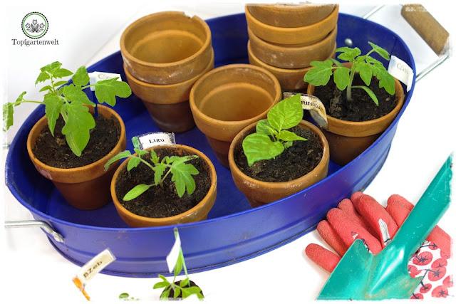 Gartenblog Topfgartenwelt Tomaten Tomatenanbau in großen Töpfen und Trögen: Tomaten in Kübel pflanzen - welche Topfgröße
