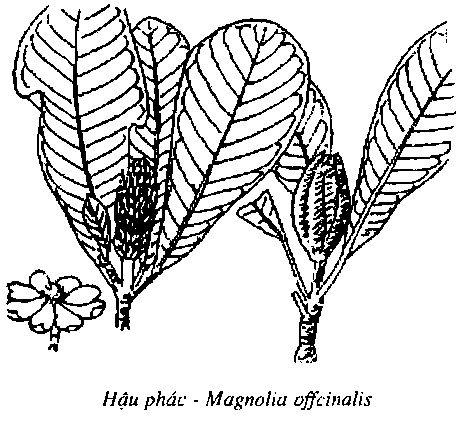 Hình vẽ Hậu Phác - Magnolia offcinalis - Nguyên liệu làm thuốc Chữa Bệnh Tiêu Hóa