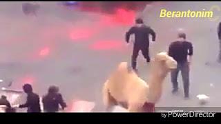 Video: Syiah Sembelih dengan Menyebut Nama Husein, Unta ini Mengamuk dan Kabur