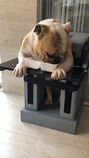 cão se alimentando com megaesôfago
