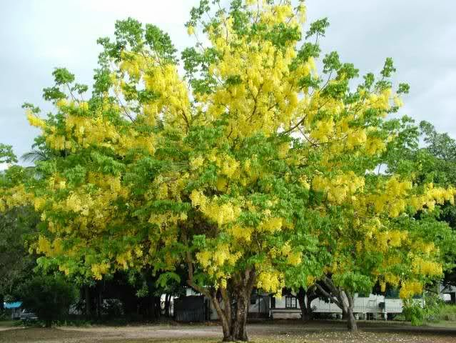 Gardening south florida style flowering trees in south florida golden shower cassia picture from the wild papaya nursery mightylinksfo
