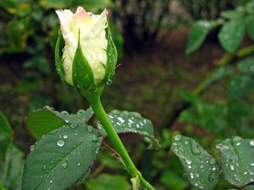 雨に濡れた咲きかかったバラ