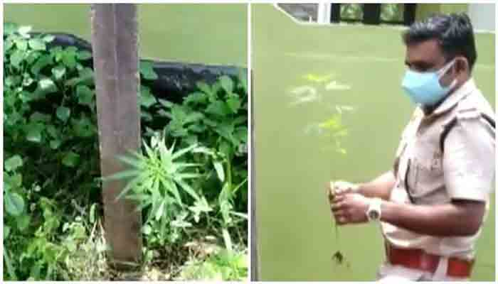 News, Kollam, Kerala, State, Case, Police, Youth, Arrest, Cannabis, Cannabis plant, Environment Day,