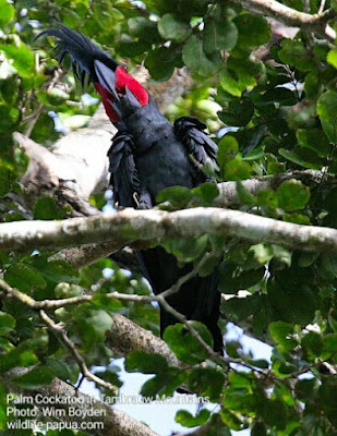 Wisata Pengamatan Burung di Pegunungan Tambrauw Provinsi Papua Barat