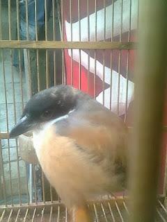 Burung Cendet - Upaya Untuk Mengetahui Status Kesehatan Burung Cendet - Penangkaran Burung Cendet